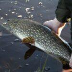 catch and release, gäddfiske